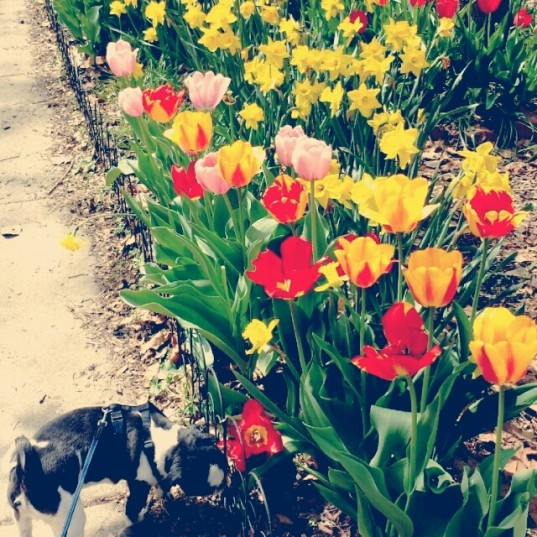 Tulip walk with Jose